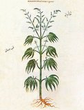 According to the accompanying description on page 168 recto, the plant is used as raw material for ropes, their fruits helps with ear problems. The Arabic text at left appears to read qinnab bustani قنب بستاني or 'garden hemp'.<br/><br/>  The Vienna Dioscurides or Vienna Dioscorides is an early 6th century illuminated manuscript of De Materia Medica by Dioscorides in Greek. It is an important and rare example of a late antique scientific text. The 491 vellum folios measure 37 by 30 cm and contain more than 400 pictures of animals and plants, most done in a naturalistic style.<br/><br/>  In addition to the text by Dioscorides, the manuscript has appended to it the Carmen de herbis attributed to Rufus, a paraphrase of an ornithological treatise by a certain Dionysius, usually identified with Dionysius of Philadelphia, and a paraphrase of Nicander's treatise on the treatment of snake bites.<br/><br/>  The manuscript was created in about 515 and was made for the Byzantine princess Juliana Anicia, the daughter of Emperor Anicius Olybrius. Although it was originally created as a luxury copy, there is some indication that in later centuries it was used daily as a hospital textbook. It includes some annotations in Arabic.<br/><br/>  The manuscript was discovered in Istanbul in the 1560s by the Flemish diplomat Ogier Ghiselin de Busbecq who was in the employ of Emperor Ferdinand I. The Emperor bought the manuscript and it is now held in the Österreichische Nationalbibliothek in Vienna. The manuscript was inscribed on UNESCO's Memory of the World Programme Register in 1997 in recognition of its historical significance.